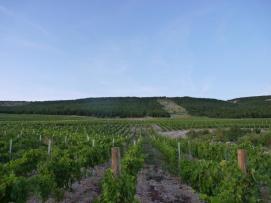 Grabovac vinograd 1