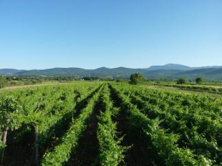 Grabovac vinograd