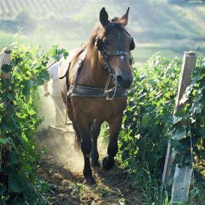 Kraut - konj u trsju +