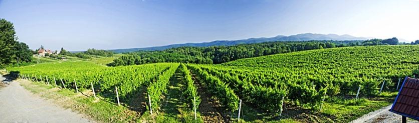 PPO - vinograd Jezerac +