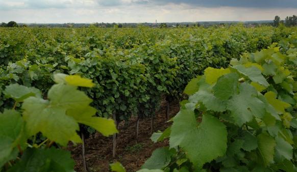jasna antunoviæ - vinarija dalj