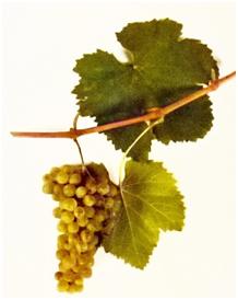 grozd-kisi