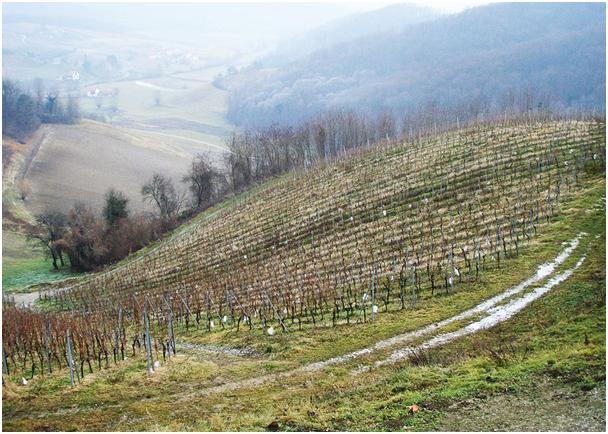 vuglec-vinograd